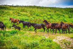 Horses herd running on Green Valley in Mountains Royalty Free Stock Photography