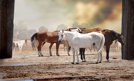 Horses in a Herd. Standing next to a barn in the sunshine after a rain storm Stock Photos
