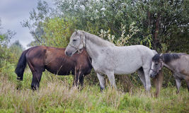 Horses herd Royalty Free Stock Photo