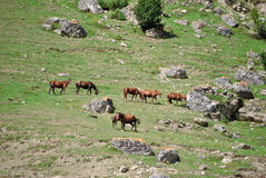 Horses. Herd of wild horses grazing on the hillside Royalty Free Stock Image