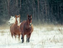 Horses herd in winter Royalty Free Stock Image