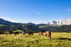 Horses at high mountains meadow Stock Images