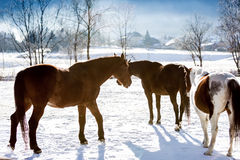 Horses on highland field covered by snow Stock Photos