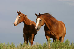 Horses on Hill. Two horses standing on top of hill, fat ranch gelding and yearling filly, late afternoon, summer Stock Image
