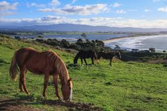 Horses on a Hill Paddock, With a View of the Sea in the Background stock image