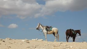 Horses on a Hill Top. With sky stock video footage