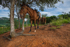Horses on hill top in Vinales Valley, Cuba Royalty Free Stock Image