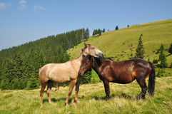Horses on a hillside. Royalty Free Stock Photos