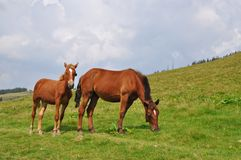 Horses on a hillside. Stock Images