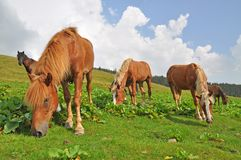 Horses on a hillside. Royalty Free Stock Image