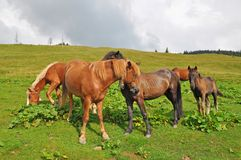 Horses on a hillside. Stock Image