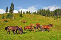 Horses on a hillside Stock Photography