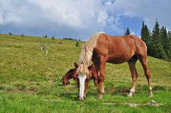 Horses on a hillside Royalty Free Stock Photos
