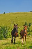 Horses on a hillside Stock Photos