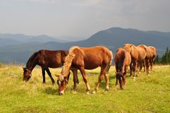 Horses on a hillside against a distant rain. Royalty Free Stock Photos