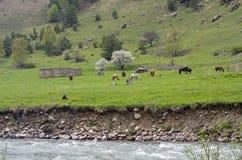 Horses on a hillside. Stock Images