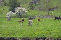Horses on a hillside. Stock Image
