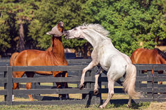 Horses in Hilton Head Island Royalty Free Stock Images