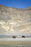 Horses in Himalaya mountains Royalty Free Stock Photography