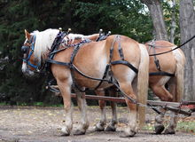 Horses Hitched To Wagon. In early autumn Stock Photos