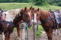 Horses at the Hitching Post. Horses, hitched to a post, watch and wait patiently for their riders on a hot summer day on the working ranch Stock Images