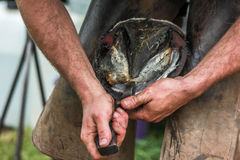 Horses hoof being prepared for shoeing Stock Images