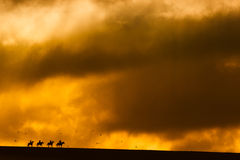 Horses on The Horizon. Four Horses Return to the stables and are silhouetted on the horizon with a stormy sky and a rising sun and surrounded by a flock of birds stock photo