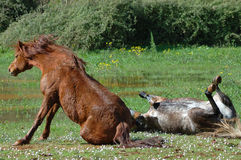 Horses. Horse couple wallowing in the mud of grassland Stock Image