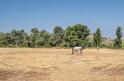 Horses. Horse eating in the field, in the beckground are some trees Stock Photo