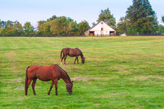 Horses at horse farm. Country landscape. Stock Photography