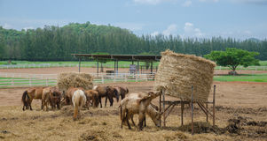 Horses at horse farm. Royalty Free Stock Images