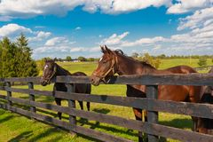 Horses at horse farm. Country summer landscape royalty free stock images