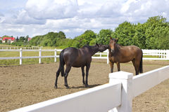Horses Royalty Free Stock Photography