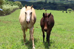 Horses. Horse and foal on a pasture country side Stock Images