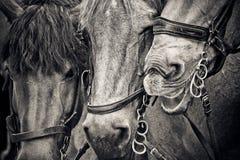 Horses, Horse Heads, Animals Royalty Free Stock Photos