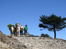 Horses and horsemen, Himalayans, Northeast India. Two horsemen and their horses carrying belongings of trekkers in the Himalayan mountains, Singalila Trail Stock Photos