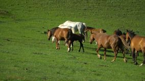 Horses and horses walk on a green grass. Mountain landscape. stock video footage