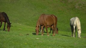 Horses and horses walk on a green grass. Mountain landscape. stock footage