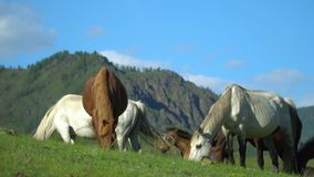 Horses and horses walk on a green grass. Mountain landscape. stock video