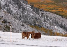 Horses Huddle as Winter Arrives Early. Horses Keep Warm as a Winter Storm Approaches royalty free stock image