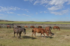 Horses on The Hulun Buir Grassland Royalty Free Stock Photography