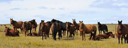 Horses in Hulunbuir steppe. Horses in hulunbuir, inner mongolia during autumn. All are looking at camera Royalty Free Stock Image