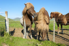 Horses in Iceland Royalty Free Stock Photo