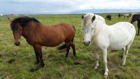 Horses Iceland Royalty Free Stock Photography