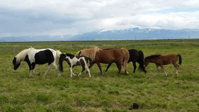 Horses from Iceland Stock Images