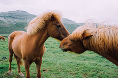 Horses in Iceland Stock Photos