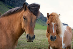Horses on an Icelandic farm Stock Photos