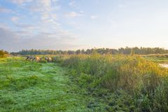 Free Horses In A Field Along A Pond In A Natural Park At Sunrise Royalty Free Stock Images - 126232109