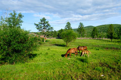 Horses In Mongolia Stock Photography