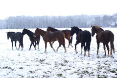 Free Horses In The Snow. Stock Image - 11462661